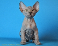CANADIAN SPHYNX JOSER CHARLES