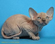 CANADIAN SPHYNX JOSER CLAIRE