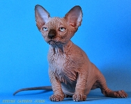 CANADIAN SPHYNX JOSER HONORA
