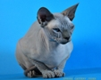CANADIAN SPHYNX JOSER AILEEN 