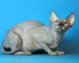 CANADIAN SPHYNX JOSER FELICITY 