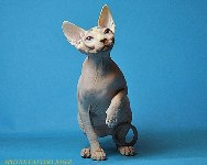 CANADIAN SPHYNX JOSER FLORENCE
