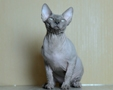 CANADIAN SPHYNX JOSER FAVORIT