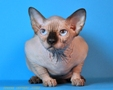 CANADIAN SPHYNX JOSER GRACE 