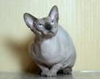 CANADIAN SPHYNX JOSER OXFORD