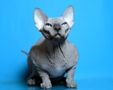 CANADIAN SPHYNX JOSER ROYAL
