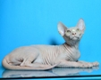 CANADIAN SPHYNX JOSER WINTER