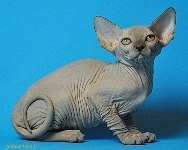 CANADIAN SPHYNX JOSER LILLY