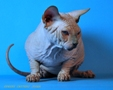 CANADIAN SPHYNX JOSER ANSELM 