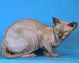 CANADIAN SPHYNX JOSER HAMILTON 