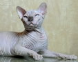 CANADIAN SPHYNX JOSER ULTIMATUM