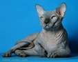 CANADIAN SPHYNX JOSER URAN 